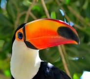 Toucan outdoor - Ramphastos sulphuratus Stock Image
