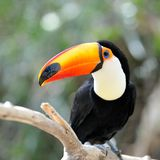Toucan outdoor - Ramphastos sulphuratus. In natural habitat stock photography