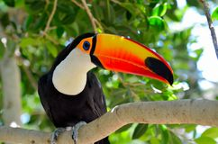 Toucan outdoor - Ramphastos sulphuratus Royalty Free Stock Images