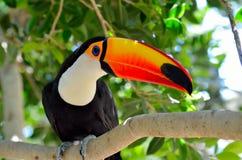 Toucan outdoor - Ramphastos sulphuratus. Toucan in natural habitat - Ramphastos sulphuratus royalty free stock images