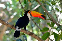Toucan outdoor - Ramphastos sulphuratus stock photos