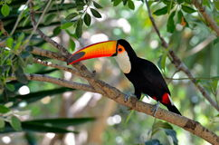 Toucan outdoor - Ramphastos sulphuratus Stock Photo
