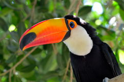 Toucan outdoor - Ramphastos sulphuratus Royalty Free Stock Photos
