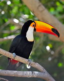 Toucan outdoor - Ramphastos sulphuratus Royalty Free Stock Image