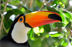 Toucan outdoor - Ramphastos sulphuratus Stock Photography