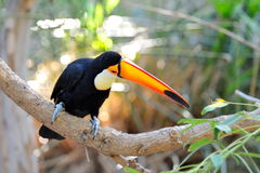 Toucan outdoor - Ramphastos toco Royalty Free Stock Photography