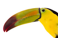 Toucan over white background Royalty Free Stock Images