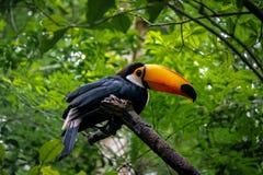 Toucan at Parque das Aves - Foz do Iguacu, Parana, Brazil. Toucan at Parque das Aves in Foz do Iguacu, Parana, Brazil royalty free stock photos