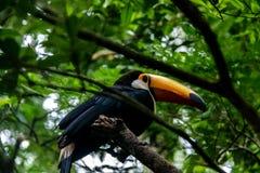 Toucan at Parque das Aves - Foz do Iguacu, Parana, Brazil. Toucan at Parque das Aves in Foz do Iguacu, Parana, Brazil stock images