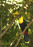 Toucan Perched in a Tree. A toucan is perched in a tree searching for food at Hotel Montañas De Agua, Domincal, Costa Rica Royalty Free Stock Photos