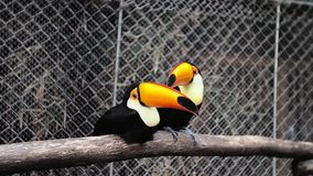 Toucan play in the cage. stock video footage