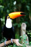 Toucan in Profile. Toucan from Brazil in Profile Stock Image