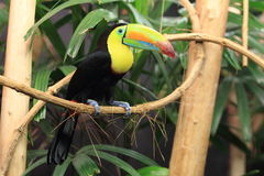 Toucan Quilha-Faturado Imagem de Stock Royalty Free