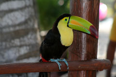 Toucan Quilla-Mandado la cuenta Foto de archivo libre de regalías
