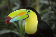 Toucan Quilla-Mandado la cuenta Foto de archivo