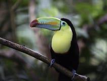 toucan Quille-affiché et x28 ; Sulfuratus& x29 de Ramphastos ; Photo stock