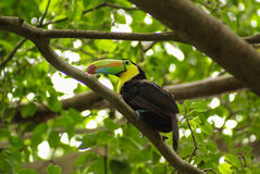 Toucan in rain forest with tree and foliage, early in the morning after rain. Stock Images