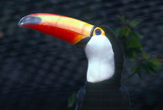 TOUCAN-RAMPHASTIDAE. Toucan close up, head shot Stock Images