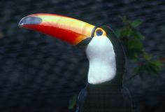 Toucan-Ramphastidae. Toucan close up, head shot Royalty Free Stock Photography