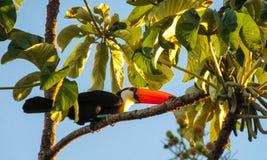 Toucan. Ramphastidae bird. Tropics, tropical fauna, birds. Brazil, amazon jungle Royalty Free Stock Photos
