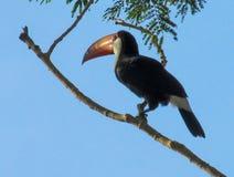 Toucan. Ramphastidae bird. Tropics, tropical fauna, birds. Brazil, amazon jungle Stock Photo