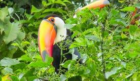 Toucan. Ramphastidae of near passerine bird. Tropics, tropical fauna, birds. Brazil, amazon jungle Royalty Free Stock Photo