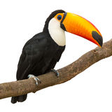 Toucan. (Ramphastos toco) sitting on tree branch isolated on white background