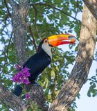 Toucan Ramphastos toco sitting on tree branch in Pantanal, Brazil Royalty Free Stock Photography