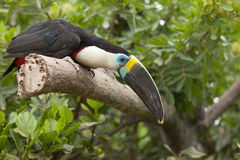 Toucan (Ramphastos Toco) sitting on tree branch in tropical fore Stock Image
