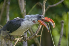 Toucan (Ramphastos toco) sitting on tree branch Stock Images