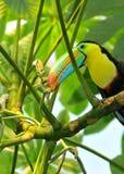 toucan regnbåge Fotografering för Bildbyråer