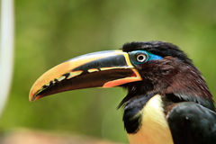 The  toucan resting by a tree close up Stock Photo