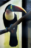 Toucan in the Russian Park of birds. Stock Images