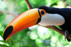 Toucan Royaltyfri Fotografi