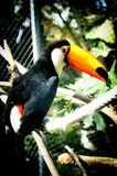 Toucan Sat on a Rope in its Cage Royalty Free Stock Photo