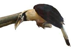Toucan se reposant sur la branche Image libre de droits