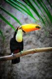 Beautiful Toucan Sat on a Branch Stock Photos