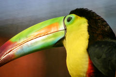 Toucan. Side view on the head of a Keel-billed toucan, the national bird of Belize, South America royalty free stock images