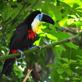 Toucan sitting on the branch Royalty Free Stock Images