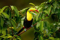 Toucan sitting on the branch in the forest, Boca Tapada, green vegetation, Costa Rica. Nature travel in central America. Keel-bill. Toucan Royalty Free Stock Image