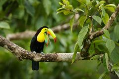 Toucan sitting on the branch in the forest, Panama, South America. Nature travel in central America. Keel-billed Toucan, Ramphasto royalty free stock photography