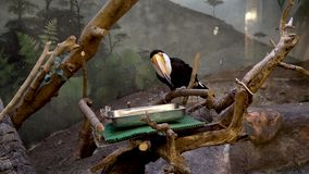 Toucan sitting on the branch stock video footage