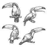 Toucan tropical bird sketch, exotic animal design. Toucan sketch set with tropical bird in different positions. American forest toco toucan bird sitting on Royalty Free Stock Images