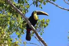 Toucan. Sole Toucan enjoying the ficus tree in Costa Rica stock image