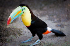 Toucan standing on the ground Royalty Free Stock Images
