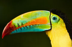 Toucan sulphide. Portrait of a toucan with a multicolor beak Royalty Free Stock Images