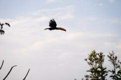 Toucan - Tiradentes, Minas Gerais, Brazil. Toucan flying in the forests of Tiradentes, Minas Gerais, Brazil stock photo