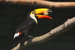 toucan的toco 免版税图库摄影