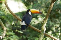 toucan toco Arkivfoto