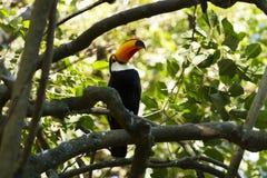 toucan toco Royaltyfri Fotografi